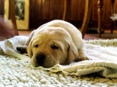 Reasons Why Carpet is Right for Your Home Near Richmond, Virginia (VA) like Warmth for Pets